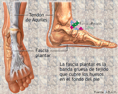 Fascitis plantar, anatomía de la fascia plantar